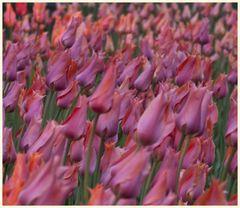 tulipan 53