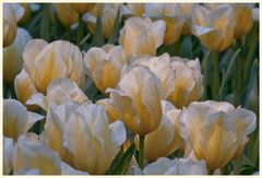 tulipan 54