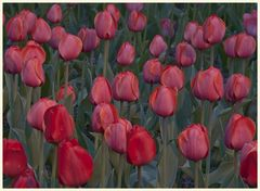 tulipan 55