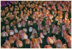 tulipan 56