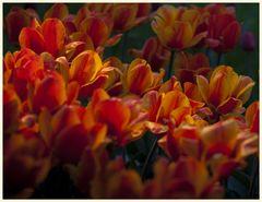 tulipan 57