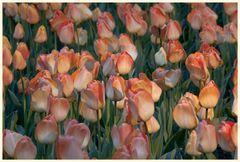 tulipan 58