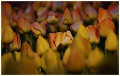 tulipan 60
