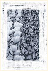 tulipan 61