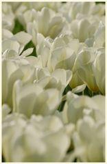 tulipan 7