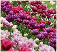 tulipan 9