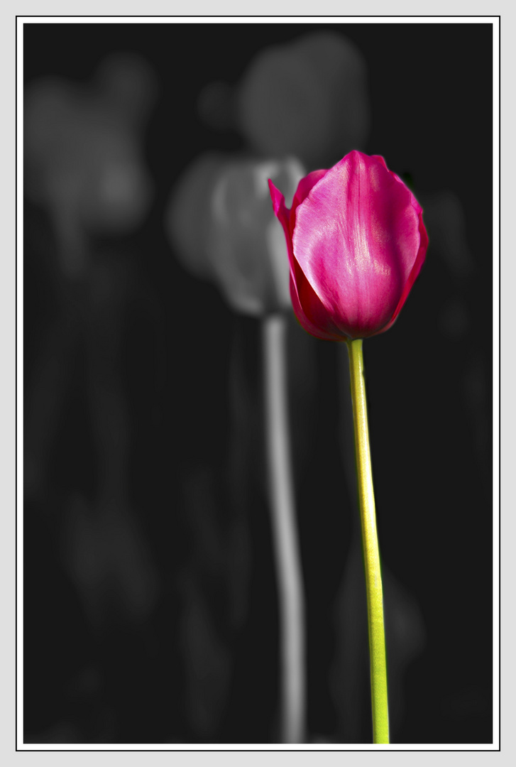 Tulipán en fondo gris