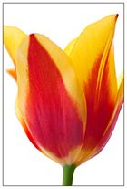 tulipán II