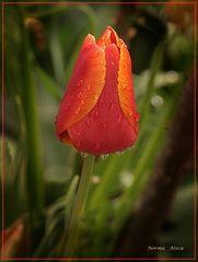 Tulipan III