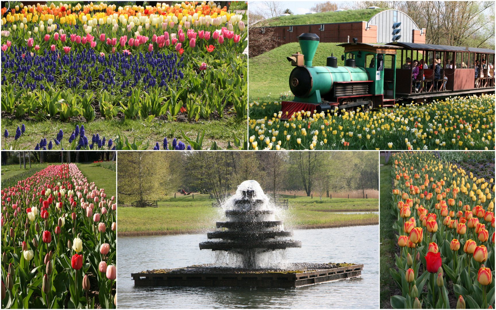 Tulipan im Britzer Garten
