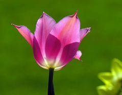 Tulipan im Gegenlicht