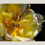 Tulipan Inside