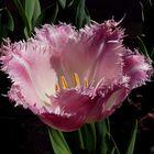 Tulipán rosa rizado