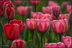 'tulipan-veranstaltung' im britzer garten