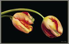 Tulipanes  amarillos.