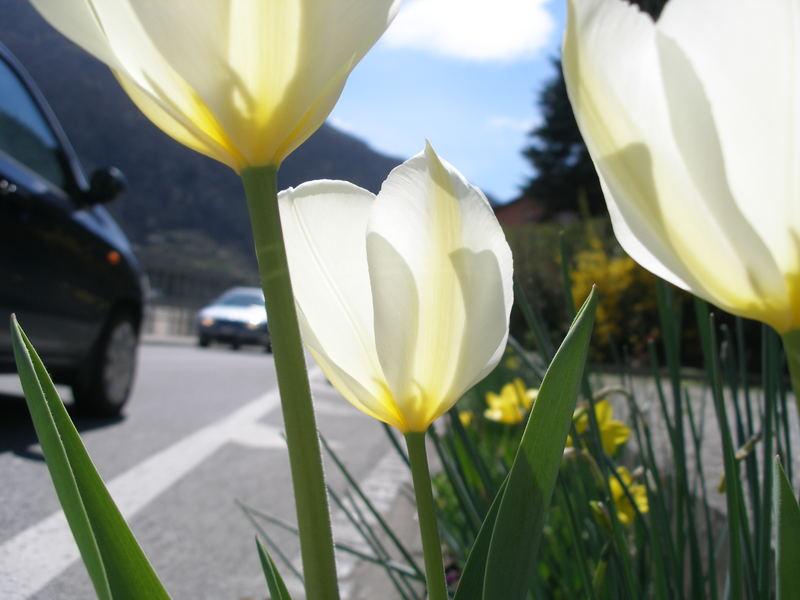 tulipani di strada