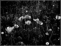 tulipani..in bianco e nero......