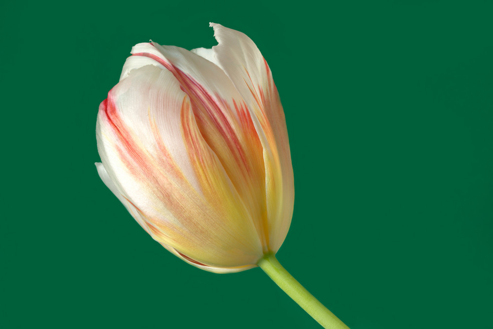 ... Tulipano ...