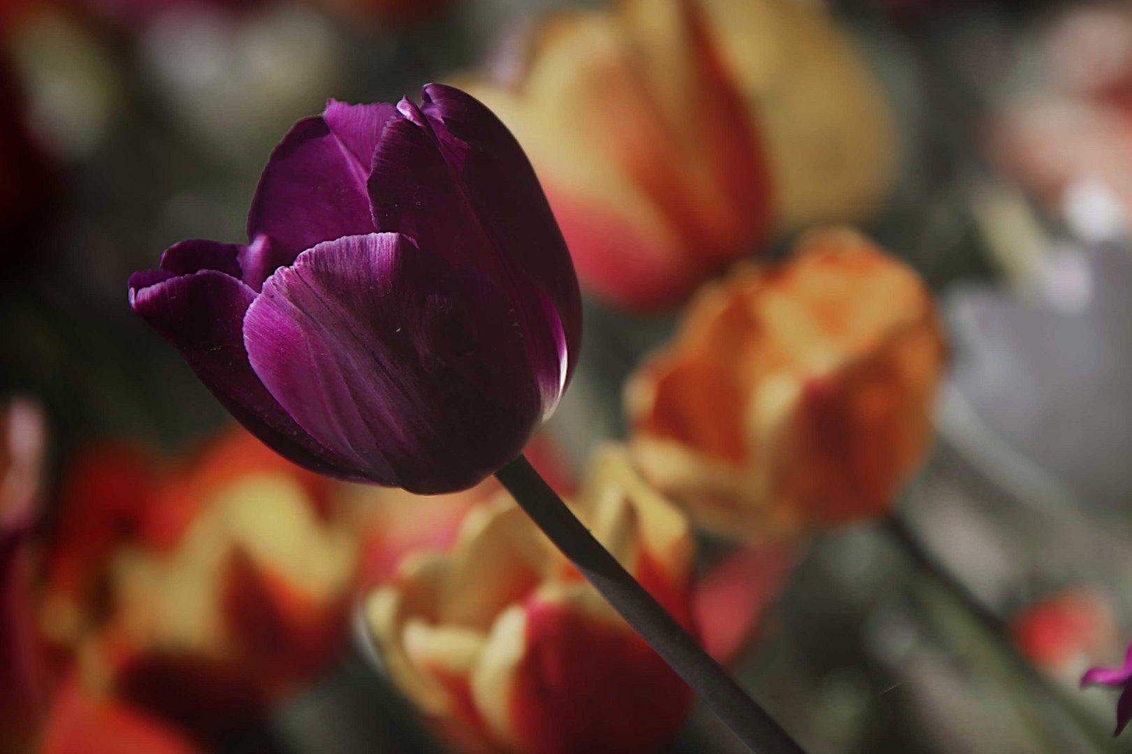 Tulipano **