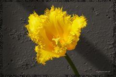 tulipano giallo