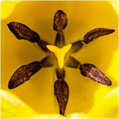 Tulipe (2)