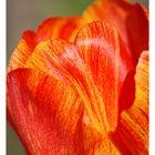Tulipe 4 Encadrée