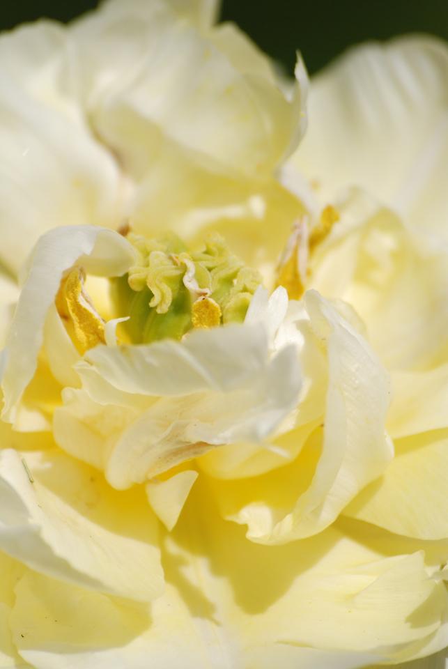 Tulipe 5