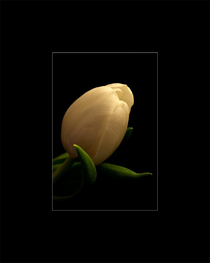 * tulipe *