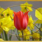 """Tulipe """"Je suis la plus belle"""""""