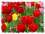 Tulipes...
