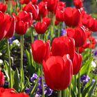 Tulipes!