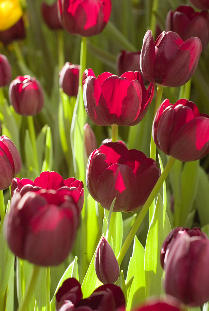 Tulipes au PalmenGarten de Francfort