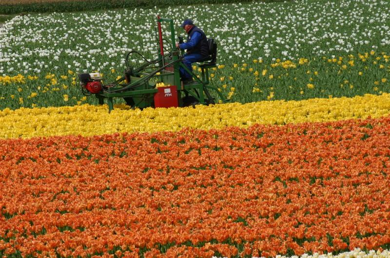 TulipKapper