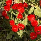 Tulips in a portuguese garden