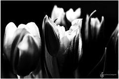 Tulips in Black `n White