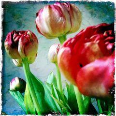 tulips - indoor