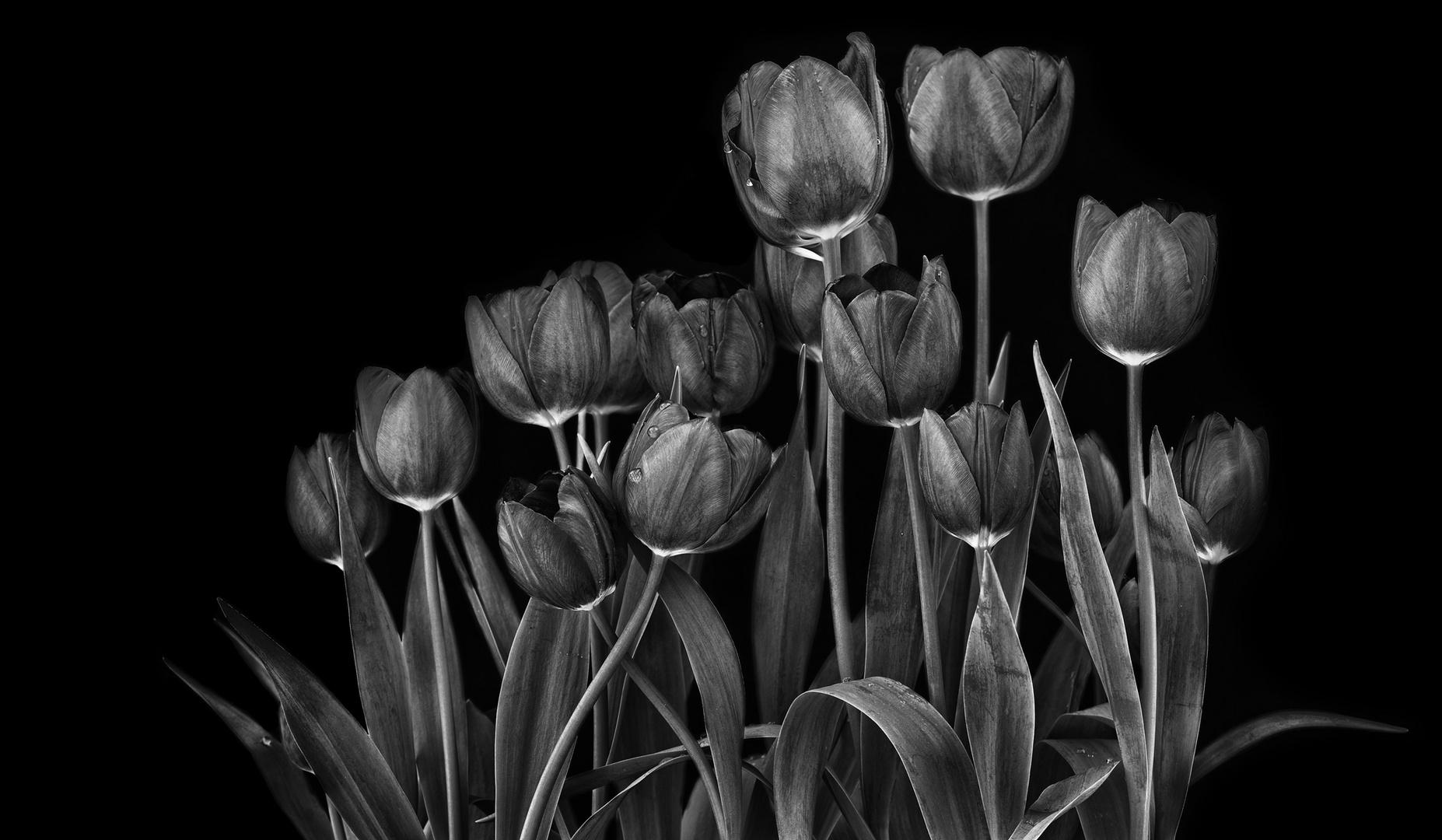 tulips monochrome