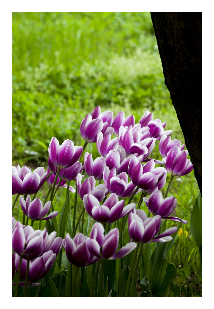 Tulips of the 2014 #6