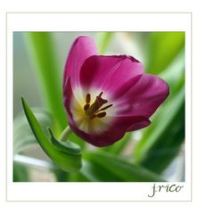 - tulips secondo -