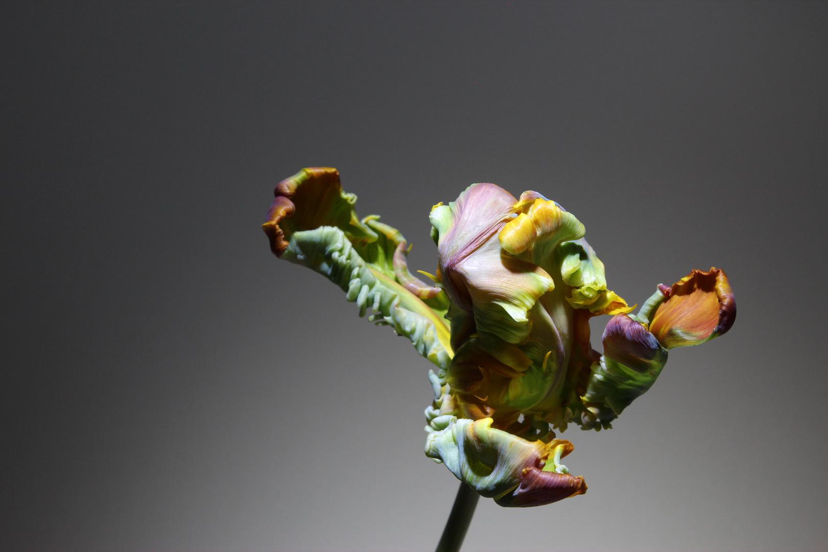 Tulpe 07