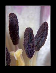 Tulpe (1)