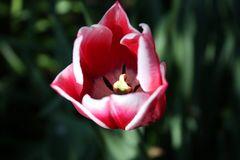 Tulpe #1