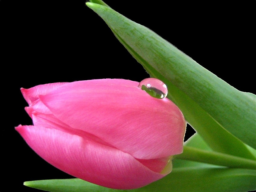 Tulpe- 1.Versuch...