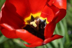 Tulpe #2