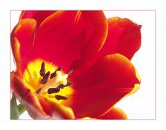 Tulpe (2)