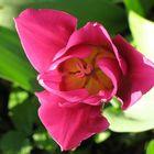 Tulpe 2007