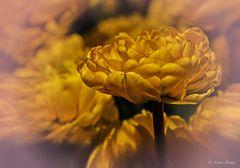 Tulpe 24