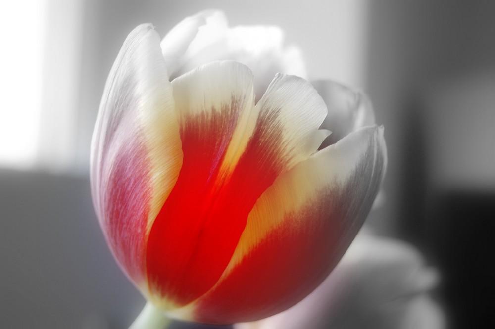Tulpe.