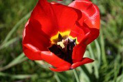 Tulpe #3