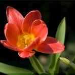 Tulpe..